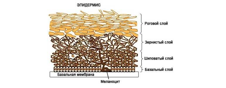 Изображение Состав эпидермиса