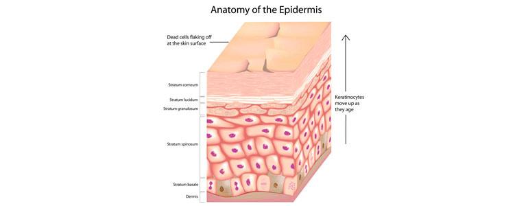 Изображение Клетки эпидермиса